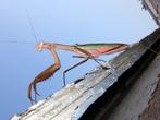 É um inseto que possui em torno de 2.000 espécies, a maioria das quais em ambiente tropical e subtropical. São insetos relativamente grandes, de cabeça triangular, tórax estreito e abdómem bem desenvolvido. São predadores agressivos que caçam principalmente moscas e afídios. A caça é feita em geral de emboscada, facilitada pelas capacidades de camuflagem do louva-a-deus. Esses insetos também comem outras de sua própria espécie, e como exemplo pode-se citar o comportamento de acasalamento dos adultos do sexo feminino, que às vezes come/mata depois, ou até mesmo durante o acasalamento. </br></br> Palavra-chaves: louva-a-deus, habitat, insetos.