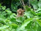 Macaco, no sentido lato, é a designação comum a todas as espécies de símios ou primatas antropóides, aplicada no Brasil, restritivamente, aos cebídeos (ou macacos do Novo Mundo) em geral. Vive nas florestas, savanas e pântanos das regiões tropicais. A maioria dos macacos é arborícola (vivem em árvores). Apenas algumas poucas espécies, como os gorilas e mandris, preferem o solo. Alimentam-se de folhas, frutos, sementes, pequenos anfíbios, caramujos e pássaros. Vivem geralmente de 10 a 15 anos. </br></br> Palavra-chaves: macaco, habitat, cebídeos, primatas, símios.