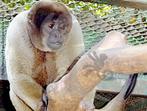 O macaco-barrigudo é um primata que habita florestas úmidas e primárias inundadas e não inundadas, na região da Floresta Amazônica brasileira, colombiana e venezuelana. É um animal que possui uma coloração pálida, marrom escura ou cinza, puxando para o preto. Alimentam-se principalmente de frutas, mas também comem sementes, gomas, flores e algumas presas animais. Possuem hábitos diurnos, são arborícolas e gregários, ou seja, vivem em grupos. Estes grupos geralmente são compostos de cerca de 30 indivíduos, mas podem variar de 5 a 70. Possuem uma cauda preênsil e longa, de até 72 cm, que funciona como um quinto membro, pois conseguem apoiar o corpo apenas com ela. No chão costumam andar de forma bípede e emitem cerca de 14 tipos de vocalizações diferentes. A gestação dura 225 dias, nascendo geralmente um filhote. Atingem a maturidade sexual após os 5 anos e chegam a viver 24. </br></br> Palavra-chaves: macaco-barrigudo, mamíferos, primatas, habitat, zoologia.