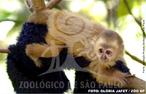 A história desse macaco-prego é única na zoologia brasileira. A espécie foi relatada pela primeira vez em 1648 quando o naturalista alemão Marcgrave veio ao Brasil como parte da comitiva de Maurício de Nassau, mas, somente em 1774, outro naturalista alemão, Schreber, descreveu formalmente a espécie. Depois disso, nunca mais se falou sobre esse macaco-prego amarelo claro e de pêlos longos, e se chegou a questionar a existência da espécie. Até que, em 2004, um lote de animais apreendidos no Centro de Proteção de Primatas Brasileiros, em Alagoas, chamou a atenção de dois pesquisadores da Paraíba, que perceberam que se tratava de exemplares do macaco, Cebus flavius. Essa história nos mostra que o macaco-prego galego nunca foi abundante na natureza e passou despercebido por mais de 300 anos. Hoje, a espécie sobrevive apenas em alguns poucos fragmentos de Mata Atlântica dos estados de Alagoas, Pernambuco, Paraíba e Rio Grande do Norte. Em 2006, o Zoológico de São Paulo, em parceria com o Instituto Chico Mendes, iniciou um programa de reprodução em cativeiro para o macaco-prego galego, à partir de animais apreendidos. O objetivo desse programa é garantir a manutenção da espécie e evitar que desapareça, caso aconteça algum problema que leve à extinção as populações na natureza. Além disso, os animais nascidos em cativeiro, no futuro, podem ser reintroduzidos em seu habitat natural. </br></br> Palavra-chaves: macaco-prego galego, mamíferos, primatas, extinção. zoologia