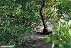 O mangue-branco (<em>Laguncularia racemosa</em>) é uma árvore pioneira nativa e típica do manguezal brasileiro. </br></br> Palavra-chaves: mangue-branco, manguezal.