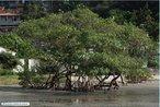 O Mangue-vermelho (<em>Rhizophora mangle</em>), também conhecido como sapateiro, é uma espécie típica de manguezal. O nome da árvore é assim dado pois, quando sua casca é raspada, apresenta uma coloração avermelhada típica da espécie. </br></br> Palavra-chaves: mangue-vermelho, manguezal.
