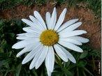 Pertencente à família Asteraceae e, portanto, parente dos girassóis, crisântemos, entre outras, a margarida é uma reunião de tipos de flores: umas formam o miolo amarelo, enquanto as outras formam a borda esbranquiçada. Essas flores têm funções biológicas importantes quando unidas, como a de produzir néctar, atrair polinizadores, além de gerar e receber pólen. Para isso, se dividem para desempenhar essas diversas tarefas. Muitas começam a desabrochar das extremidades em direção ao centro, assim, enquanto as flores da periferia estão na fase feminina - durante a qual são capazes de receber pólen -, as flores mais centrais estão na fase masculina - na qual liberam seu próprio pólen. Quando muitas flores estão assim reunidas, chamamos de inflorescência. </br></br> Palavra-chaves: margarida, flores, inflorescência, funções biológicas.
