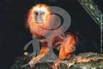 O mico-leão de cara dourada subsiste apenas na região do município de Una, no sul baiano. Só uma área muito pequena deste é protegida. Seu maior perigo é a intensa destruição florestal. Sua população, embora a maior de todos os micos do gênero, encontra-se seriamente ameaçada. Alimentam-se de frutos, insetos, alguns fungos, pequenos vertebrados e ovos, além de certos exudatos de árvores (seivas e âmbares) e flores abundantes em néctar, que são características de florestas já bem formadas. Há até quem tente levar cipós, bromélias e outras plantas que só aparecem na floresta depois de muito tempo de uma região para outra. Vivem por volta de quinze anos, e a maturidade sexual varia entre machos e fêmeas: 24 meses para eles, 18 para elas. Podem formar grupos que variam de 3 a 12 indivíduos, e normalmente as fêmeas são expulsas do grupo para formação de novos pólos familiares. O desenvolvimento dos papéis sociais depende muito do contato com os outros micos, sendo que indivíduos com contato excessivo com o homem em cativeiro podem mesmo tornar-se incapazes de reconhecer os sinais características de sua espécie sobre a reprodução ou o perigo. </br></br> Palavra-chaves: mico-leão-de-cara-dourada, mamíferos, primatas. zoologia.