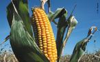 O milho é uma planta da família Gramineae e da espécie <em>Zea mays</em>. Comummente, o termo se refere à sua semente, um cereal de altas qualidades nutritivas. É extensivamente utilizado como alimento humano ou ração animal. O milho é um dos alimentos mais nutritivos que existem. Puro ou como ingredientes de outros produtos, é uma importante fonte de energética para o homem. </br></br> Palavra-chaves: <em>Zea mays</em>, milho, alimentação, cultivo.