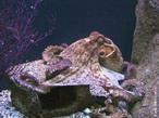 Os Cefalópodes (Cephalopoda, do grego kephale, cabeça + pous, podos, pé), como polvos, lulas e náutilos, têm tentáculos ligados cabeça. </br></br> Palavra-chaves: moluscos, cefalópodes, tentáculos.