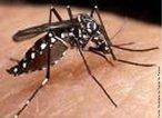 Mosquito transmissor do vírus causador da dengue. O vírus do dengue é um arbovírus (vírus transmitido por inseto). São conhecidos quatro sorotipos (Den 1, Den 2, Den 3 e Den 4). O <em>Aedes aegypti</em> vive em todo lugar onde existe água parada e limpa, em qualquer tipo de recipiente que acumule água. Exemplos: bacias, baldes, bandejas de escorrimento de geladeiras, barris, buracos de árvores, calhas de telhados, canaletas, drenos de escoamentos, garrafas, latas, panelas, pneus, potes, pratos, tambores, tanques, cisternas, urnas de cemitérios, vasos de flores, vidros, caixas d'água, copos descartáveis, casca de ovo, tampa de garrafa. Os locais preferidos para abrigo são armários e lugares escuros dentro de casa. No ambiente externo prefere lugares frescos e sombreados. </br></br> Palavra-chaves: mosquito da dengue, <em>Aedes aegypti</em>, dengue, insetos, culicíneos.