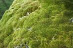 Os musgos são representantes do grupo das briófitas e como tal são desprovidos de vasos de condução e tecidos . São constituídos por caulóides, rizóides e filóides. São plantas criptógamas, isto é, que possui o órgão reprodutor escondido, ou que não possuem flores.Preferem viver em lugares úmidos (são dependentes da água para a reprodução, cuja fase dominante é a gametofítica), e preferem lugares com sombra (umbrófitas). Geralmente atingem poucos centímetros de altura justamente por não possuírem vasos de condução de seiva. </br></br> Palavra-chaves: musgos, briófitas, plantae.