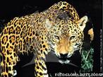 A onça-pintada é o maior felino das Américas; seu corpo é robusto e musculoso, seu tamanho varia entre 1.120 – 1.850mm, o peso varia entre 60 – 90kg. A onça pintada possui uma coloração que vai do amarelo bem claro a amarelo acastanhado, seu corpo é revestido por pintas negras que podem formar rosetas grandes, médias ou pequenas. Ela é atualmente encontrada das planícies costeiras do México até o norte da Argentina. Habita áreas de vegetação densa, abundância de água e alimentação; áreas tropicais e subtropicais, cerrado, caatinga e pantanal. São animais de hábitos solitários e terrestres, urinam com grande frequência para demarcar território. Sua atividade pode ser tanto diurna quanto noturna; são grandes saltadoras e nadadoras atravessando rios com 1km de largura. Sua dieta é de uma grande variedade de mamíferos de médio e grande porte, aves e répteis. A onça tem perdido território por causa da modificação de seu habitat, a caça por conta dos pecuaristas, criadores em defesa dos seus animais. </br></br> Palavra-chaves: onça-pintada, mamíferos, carnívoros, felídeos.