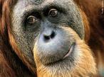 Vivem nas montanhas das florestas tropicais de duas ilhas indonésias, Sumatra e Bornéu. Estes animais vivem nas árvores, perto da copa, onde fazem as suas camas e onde se passa toda a sua vida social. Os orangotangos machos adultos tendem a ser solitários, tendo pouco contacto com as fêmeas, que só procuram na época da reprodução. Já as fêmeas gostam de viver em grupos de 3 ou 4 adultas, acompanhadas pelos filhos (machos ou fêmeas). Apesar de serem omnívoros, mais de metade da alimentação dos orangotangos são frutos, distribuindo-se o restante por folhas, bagas, ovos e pequenos invertebrados. Esses animais atingem a maturidade sexual após os 7 anos. A esperança de vida é de aproximadamente 60 anos. </br></br> Palavra-chaves: orangotango, extinção, habitat, zoologia.