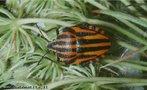 A ordem Coleoptera é a maior ordem dos insetos e contém cerca de 40% das espécies conhecidas da classe. Compreende os insetos conhecidos como besouros, que se distinguem facilmente pela presença dos élitros. </br></br> Palavra-chaves: ordem Coleoptera, insetos, besouros, habitat, biodiversidade, zoologia.