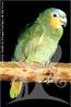 O papagaio-do-mangue vive nas matas do litoral atlântico, atingindo os manguezais, onde faz seus ninhos nos maiores troncos da floresta. Pode voar para ilhas com cobertura vegetal densa para pernoitar ou nidificar quando estas apresentam mais segurança contra a predação humana que o continente. Como sugere seu nome, é também muito comum na Amazônia. Não é uma espécie ameaçada de extinção, mas como muitas espécies de papagaio, também sofre com o tráfico de animais e perda de habitat. </br></br> Palavra-chaves: papagaio do mangue, aves, habitat, biopirataria, biodiversidade.