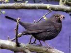 Ele é um dos pássaros brasileiros mais es, manso, inteligente e bastante esperto. É encontrado do norte ao sudeste do país, geralmente próximo às plantações de cereais. </br></br> Palavra-chaves: pássaro preto, habitat, biodiversidade, zoologia.