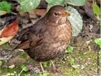 Ele é um dos pássaros brasileiros mais es, manso, inteligente e bastante esperto. É encontrado do norte ao sudeste do país, geralmente próximo às plantações de cereais. </br></br> Palavra-chaves: pássaro-preto fêmea, habitat, biodiversidade, zoologia.