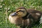São aves geralmente menores que os gansos e cisnes, podem ser encontrados tanto em água doce como salgada, alimentam-se de vegetação aquática, moluscos e pequenos invertebrados e algumas espécies são aves migradoras. </br></br> Palavra-chaves: pato, ave, habitat, biodiversidade, zoologia.