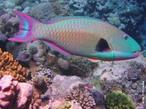 Peixe-papagaio é o nome comum dado aos peixes perciformes da família Scaridae. São muito abundantes em zonas de recife no Mar Vermelho, Oceano Atlântico e Indo-Pacífico. </br> Imagem: <em>Cetoscarus bicolor</em>. </br></br> Palavra-chaves: actinopterígeo, nadadeiras sustentadas por raios, vertebrados, peixes ósseos, peixe-papagaio.