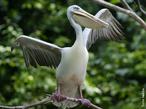 A principal característica do pelicano é o longo pescoço que contém uma bolsa na qual armazena o alimento. Assim como a maioria das aves aquáticas, possui os dedos unidos por membranas. Os pelicanos são encontrados em todos os continentes, exceto na Antártida. Eles podem chegar a medir 3 metros de uma asa a outra e pesar 13 kg, sendo que os machos são normalmente maiores e possuem o bico mais longo do que as fêmeas. Praticamente possuem uma dieta voltada aos peixes. Geralmente estabelecem dois ou três ovos em março ou abril. A incubação dura 28 a 30 dias. Eles alimentam as suas crias por regurgitação. A maturidade sexual é atingida ao fim de dois a cinco anos. </br></br> Palavra-chaves: pelicano, habitat, ave aquática.