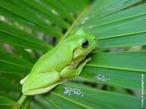 Perereca ou rela é o nome comum que se dá aos anfíbios anuros da família Hylidae. De pequeno porte, caracterizam-se pelos dedos terminados em ventosa, que lhe permitem prender-se a superfícies verticais. </br></br> Palavra-chaves: anfíbio, perereca, rela, anuros, habitat, biodiversidade, zoologia.