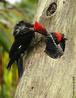É um grande pica-pau encontrado do México à Argentina. Tal ave mede cerca de 33 cm de comprimento, com topete e estria malar vermelhos, asas e lados da cabeça pretos, faixa branca que se estende do bico às laterais do peito e barriga branca barrada de preto. Também é conhecida pelo nome de ipecuacamirá. Vive em pares ou em grupos familiares, com o macho e a fêmea tamborilando em sequência longa e baixa. As fêmeas desta espécie de pica-pau põem em média de 2 a 3 ovos, e o macho participa dos cuidados com a prole. </br></br> Palavra-chaves: pica-pau-de-banda-branca, aves, habitat, biodiversidade.