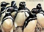 Os pingüins fazem parte do mais especializado grupo de aves marinhas. São as aves mais típicas e numerosas da zona sub antártica e antártica constituindo mais de 90% da biomassa de avifauna desta região e encontrados apenas no Hemisfério Sul. Nadam com grande velocidade (até 40km/h) para fugirem do seu principal predador, o leão-marinho. Devido a certas adaptações morfológicas especiais, os pingüins enxergam muito bem dentro da água, onde apanham toda a comida; fora da água a visão é reduzida. São adaptados ao frio através da espessa almofada de pena, contendo grande quantidade de ar, e grossa camada de gordura. </br></br> Palavra-chaves: pinguim de Magalhães, aves marinhas, habitat, biodiversidade.