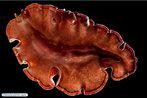 A classe tubelária reúne platelmintos de vida livre, que ocorrem no mar, em água doce ou em ambiente terrestre marinho. </br></br> Palavra-chaves: tubelária, platelmintes.
