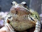 Anfíbio da ordem Anura, possui membranas interdigitais pouco desenvolvidas, pele seca e rugosa, vivem em lugares úmidos e perto de fontes de água, existem cerca de 4.800 espécies de sapos catalogados. </br></br> Palavra-chaves: anfíbio, sapo, anuros, habitat, biodiversidade, zoologia.