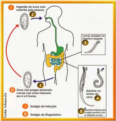 A Enterobiose, Enterobíase, Oxiurose ou ainda Oxiuríase é uma doença causada pelo nematódeo <em>Enterobius vermiculares</em> ou <em>Oxyurus vermiculares</em>. A transmissão da doença é variada. Pode ser de forma direta, onde a criança ao coçar a região anal, coloca a mão infectada pelo verme na boca. Também pode acontecer indiretamente pela contaminação da água ou alimento, ao cumprimentar uma pessoa que esteja com a mão suja contendo ovos do verme. É muito comum, em ambientes que possuam pessoas que tenha a doença encontrar ovos do verme em roupas de cama, nas toalhas, no chão e nos objetos da casa, sendo frequentes as pequenas epidemias entre aqueles que habitam a mesma residência. Os fatores responsáveis por essa situação é que as fêmeas do verme eliminam grande quantidade de ovos na região perianal. Os ovos em poucas horas se tornam infestantes, podendo atingir os hospedeiros por vários mecanismos (direto, indireto, retro infestação, etc.). Os ovos são muito resistentes e conseguem resistir até três semanas em ambientes domésticos. Somente a espécie humana alberga o <em>Enterobius vermiculares</em>. Quando encontrados nas fezes, o ovo já encerra um embrião, que em poucas horas se transforma em larva (é infestante). A larva ocupa a cavidade interior e é móvel, podendo adotar diversas posições. Os vermes adultos caracterizam-se por serem pequenos, cilíndricos, afilado, de cor esbranquiçada. <br /><br /> Palavras-chave: ciclo de vida, <em>Enterobius vermiculares</em>, Enterobiose, Oxiuríase, vermes, saúde, higiene.