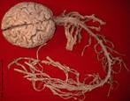 O sistema nervoso é responsável pelo ajustamento do organismo ao ambiente. Sua função é perceber e identificar as condições ambientais externas, bem como as condições reinantes dentro do próprio corpo e elaborar respostas que se adaptem a essas condições. A unidade básica do sistema nervoso é a célula nervosa, denominada neurônio, que é uma célula extremamente estimulável; é capaz de perceber as mínimas variações que ocorrem em torno de si, reagindo com uma alteração elétrica que percorre sua membrana. Essa alteração é o impulso nervoso. As células nervosas estabelecem conexões entre si de tal maneira que um neurônio pode transmitir a outros os estímulos recebidos do ambiente, gerando uma reação em cadeia. </br></br> Palavras-chave: sistema nervoso, célula, neurônio, reação em cadeia.