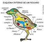As aves constituem uma classe de animais vertebrados, bípedes, homeotérmicos, ovíparos, caracterizados principalmente por possuírem penas, apêndices locomotores anteriores modificados em asas, bico córneo e ossos pneumáticos. A imagem é um esquema da anatomia interna de um pássaro. <br /><br /> Palavras-chave: anatomia interna, aves, pássaro, vertebrados.