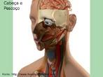 Ilustra a cabeça e pescoço com alguns órgãos. <br /><br /> Palavras-chave: cabeça, pescoço, órgãos, corpo humano, sistemas biológicos, anatomia.