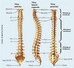 A coluna vertebral se estende desde a base do crânio até a extremidade caudal do tronco. É constituída de 33 ou 34 vértebras superpostas e intercaladas por discos intervertebrais. As vértebras sacras soldam-se entre si, constituindo um único osso sacro, assim como as coccígeas, que formam o cóccix. Superiormente, articula-se com o osso occipital e inferiormente, com o Ilíaco. É dividida em quatro regiões: Cervical, Torácica, Lombar e Sacro-Coccígea. <br /><br /> Palavras-chave: osso humano, esqueleto, coluna vertebral.