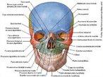 O crânio é a estrutura óssea que forma o esqueleto da cabeça. Situado na parte mais alta do corpo humano ele é sustentado pela coluna cervical. Possui um formato oval e é levemente maior em sua parte posterior do que na parte frontal. É composto por uma serie de ossos planos e irregulares, que são imóveis (exceção da mandíbula), totalizando 22 ossos. Pode ser dividido em face e o crânio propriamente dito. <br /><br /> Palavras-chave: osso humano, esqueleto, crânio, cabeça.