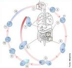1- Há ingestão de cistos de Entamoeba/ 2 e 3- O cisto desce pelo esôfago e dentro do intestino o cisto sofre degradação/ 4- Geram trofozoítos/ 5- Os trofozoítos se reproduzem por cissiparidade/ 6- Os trofozoítos resultantes da reprodução atravessam a parede do intestino grosso/ 7- Caem na corrente sanguínea e acabam atacando outros órgãos, como o fígado e os pulmões/ 8,9,10 e 11- Processo que após a cissiparidade do trofozoíto em (5) passam a se encistar para ser eliminado nas fezes e reiniciar o ciclo na mesma pessoa ou em outras pessoas/ 12- Exemplo de ingestão de cistos por via oral, talvez por água contaminada. </br></br> Palavras-chave: <em>Entamoeba histolytica</em>, protozoário, amebóide.