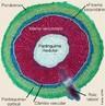 O crescimento secundário em raízes, bem como nos caules, consiste na formação de tecidos vasculares secundários a partir do câmbio vascular e de uma periderme originada no felogênio (câmbio de casca). O câmbio vascular se inicia por divisões das células do procâmbio, que permanecem meristemáticas e estão localizadas entre o xilema e floema primários. Logo a seguir, as células do periciclo também se dividem e as células-irmãs internas, resultantes desta divisão, contribuem para formar o câmbio vascular. Um cilindro completo de câmbio da casca (felogênio), que surge na parte externa do periciclo proliferado, produz súber para o lado externo e felogênio para o lado interno. Estes três tecidos formados: súber, felogênio e feloderme constituem a periderme (RAVEN et al., 2007). </br></br> Palavras-chave: raiz, crescimento secundário, anatomia botânica.