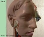 Parte frontal da cabeça, mais conhecido como rosto. </br></br> Palavras-chave: face, rosto, cabeça, sistemas biológicos, corpo humano, anatomia.
