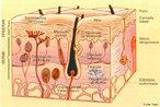 Um tecido é um conjunto de células especializadas, iguais ou diferentes entre si, separadas ou não por líquidos e substâncias intercelulares, que realizam determinada função num organismo multicelular. Na biologia, o ramo que estuda o tecido é a Histologia ( Histo = tecido + Logia = estudo). Classificação: epitelial, conjuntivo, muscular e nervoso. </br></br> Palavras-chaves: histologia, tecidos, células, classificação, sistema biológico.