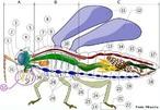 Anatomia de um inseto:</br> A- Cabeça /B- Tórax /C- Abdômen  1. antena/ 2. ocelo (inferior)/ 3. ocelo (superior)/ 4. olho composto/ 5. cérebro (gânglios cerebrais)/ 6. protórax/ 7. artéria dorsal/ 8. tubos traqueais e espiráculos/ 9. meso-tórax/ 10. meta-tórax/ 11. asa (1ª)/ 12. asa (2ª)/ 13. intestino médio (mesêntero)/ 14. coração/ 15. ovário/ 16. intestino posterior (proctodeo)/ 17. ânus/ 18. vagina/ 19. gânglios abdominais/ 20. túbulos de Malpighi/ 21. tarsômero/ 22. garras tarsais/ 23. tarso/ 24. tíbia/ 25. fémur/ 26. trocanter/ 27. intestino anterior (estomodeo)/ 28. gânglios torácicos/ 29. coxa/ 30. glândula salivar/ 31. gânglio sub-esofágico/32. peças bucais </br></br> Palavras-chave: insetos, artropodes, invertebrados.