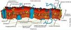 A membrana celular, também conhecida por plasmalema, é a estrutura que delimita todas as células vivas, tanto as procarióticas como as eucarióticas. Ela estabelece a fronteira entre o meio intra-celular, o citoplasma, e o meio extracelular, que pode ser a matriz dos diversos tecidos. </br></br> Palavras-chave: membrana plasmática, plasmalema, célula.