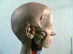 Ilustra os músculos que circundam na face. </br></br> Palavras-chave: músculos faciais, sistemas biológicos, corpo humano, anatomia.
