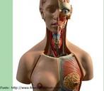 Ilustra alguns órgãos do corpo humano. </br></br> Palavras-chave: órgãos, corpo, humano, sistemas biológicos, anatomia.