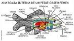Esquema da anatomia interna de peixe ósseo fêmea. </br></br> Palavras-chave: anatomia interna, peixe ósseo, Osteichthyes.