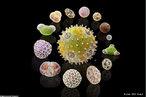 O cientista suíço Martin Oeggerli se especializou em tirar fotografias de grãos de pólen através de microscópios. Sua intenção é mostrar a beleza e a diferença entre esses grãos. Na foto, o grão do centro é de pólen de abóbora. </br></br> Palavras-chave: pólen, microscopia, botânica, abóbora.